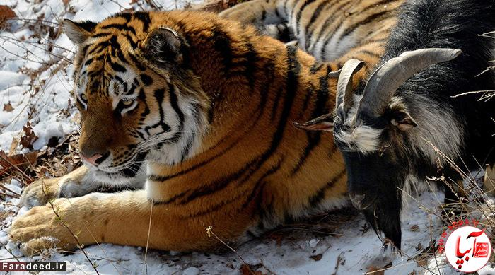 2747335 11/27/2015 Amur, a Siberian tiger, and a goat called Timur are seen here in an enclosure at the Primorye Safari Park. Tigers there are fed on live food all year round yet Amur refused to eat goat Timur. Vitaliy Ankov/Sputnik