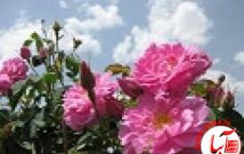 آغاز برداشت گل محمدی از گلستان فارس