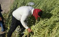 برداشت کنجد در مزارع دهرم
