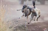چرخه زندگی/ تلاش یک کفتار برای شکار یک گوزن یالدار