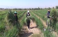 فیلم کاشت گیاه علف لیمو در مزارع فیروزآباد