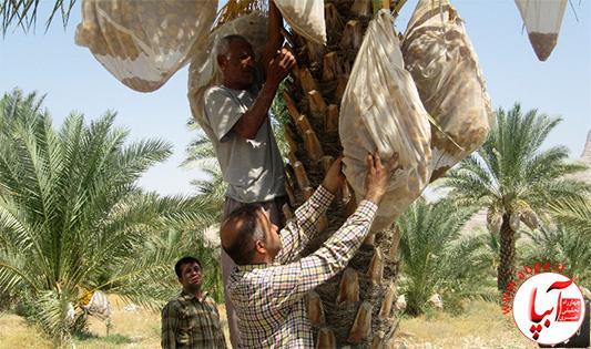 خسارت عارضه خشکیدگی خرما در باغات شهرستان فراشبند