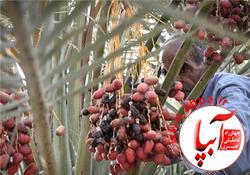 به بهانه ی برگزاری جشن قصب و خرما در فراشبند