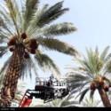 2771447 4048174 125x125 - گزارش تصویری ایرنا از برداشت خرما و قصب از نخلستان های فراشبند