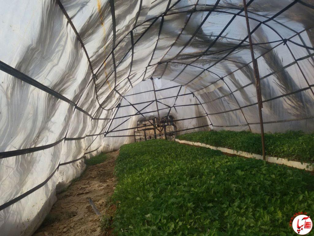 کاشت گوجه فرنگی گلخانه ای در دهرم