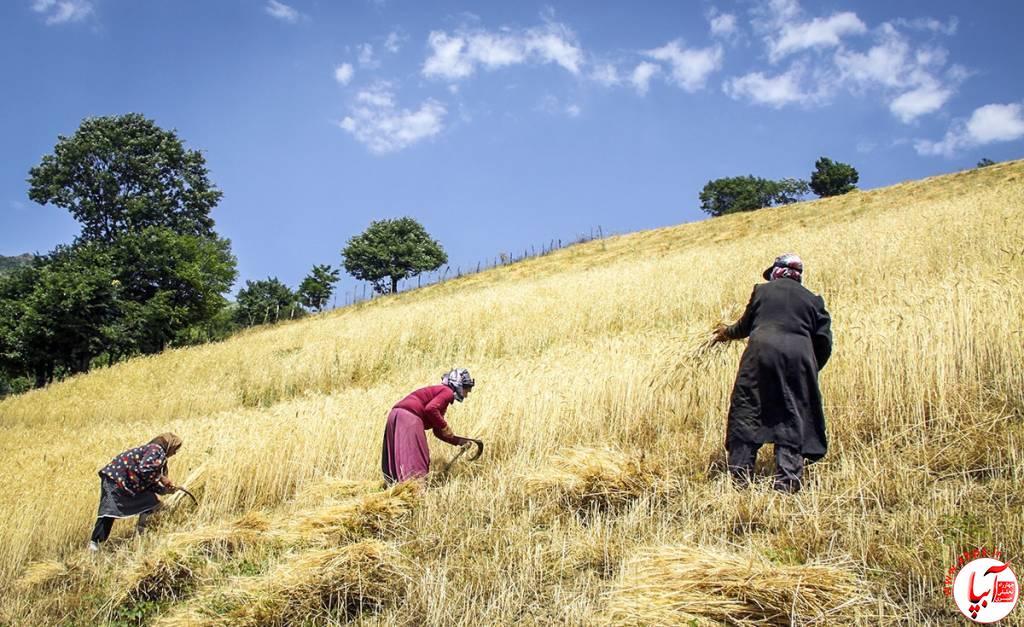 تداوم کاهش تولید گندم در فراشبند