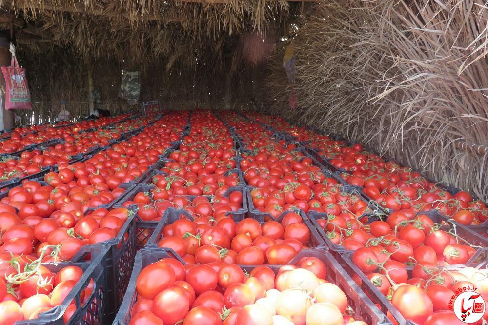 IMG_0261 خرید حمایتی گوجه فرنگی بخش دهرم