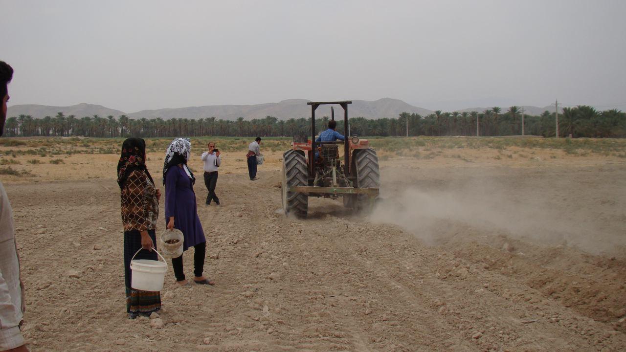 کاشت #گل نرگس برای اولین بار در شهرستان فراشبند