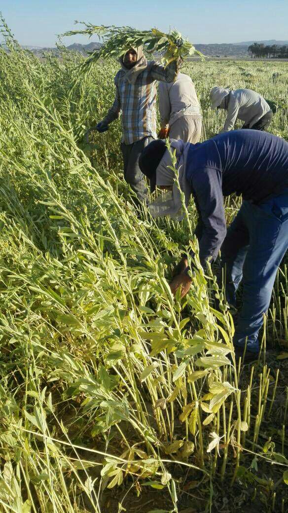 photo_2017-10-15_23-57-09 برداشت کنجد در مزارع دهرم