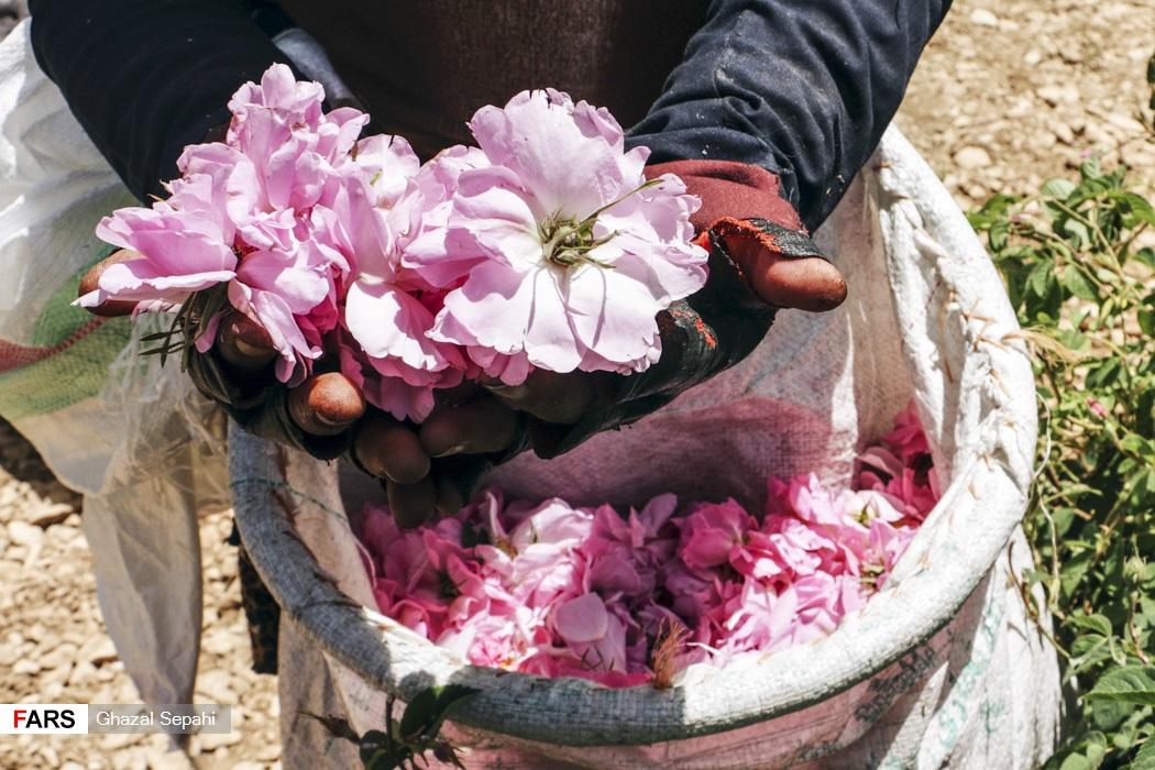 برداشت گل محمدی از باغ های گل شهر میمند آغاز شده است.